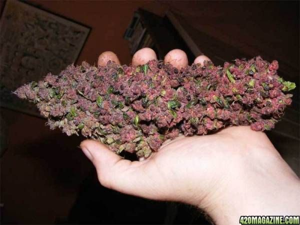 Purple Haze Cannabis amazing buds! brought to you by #zipgrinders :) http://www.zipgrinders.com/?utm_source=pinterest&utm_medium=pin&utm_content=MTB%20pin&utm_campaign=marijuana%20the%20beautiful