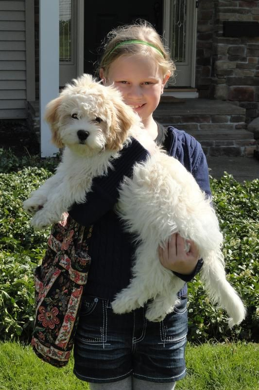 Cavachon Breeders Contact Us For Beautiful Cavachon Puppies Cavachon Puppies Cavachon Cavachon Dog