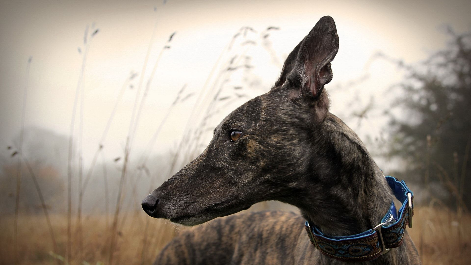 Greyhound Hd Greyhound Greyhound Pictures Grey Hound Dog