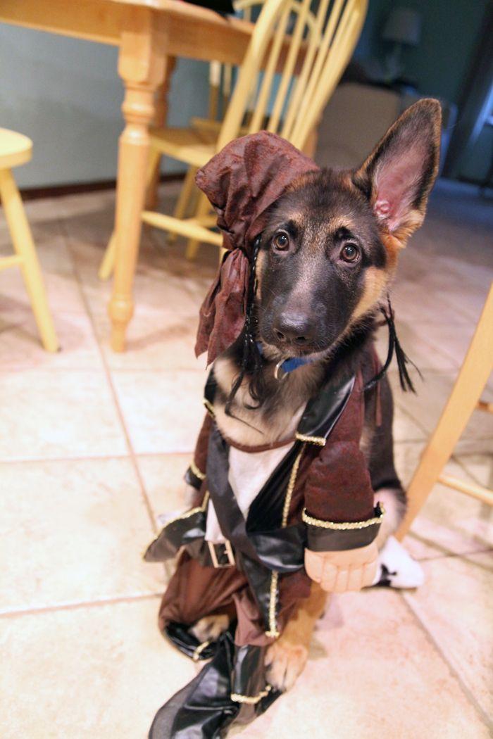 Captain Jack Sparrow German Shepherd Halloween Omg I M In Love