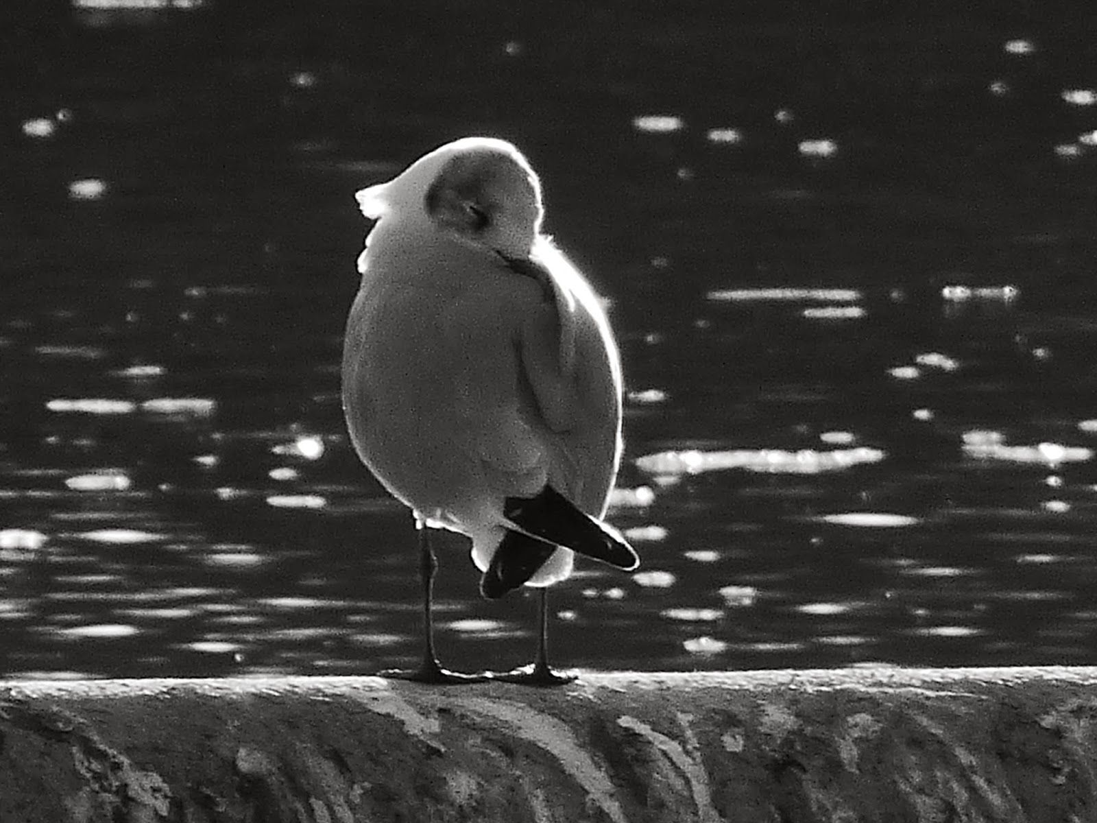 Nature from my window: Mouette endormie (Seagull sleeping)
