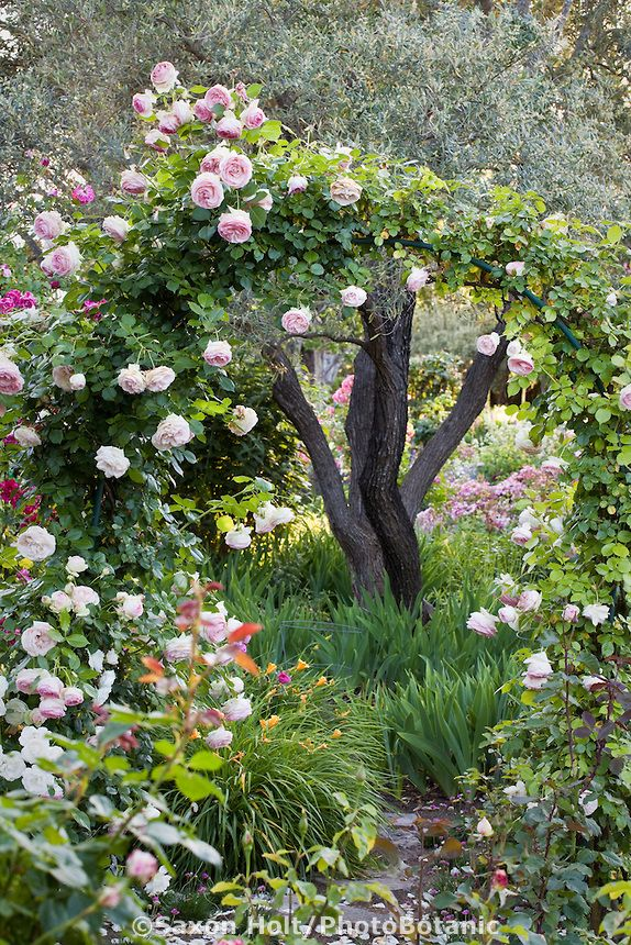 f8fce65021b (Secret) Garden - Climbing rose  Pink Eden  on arch over path through  California country garden with Olive trees