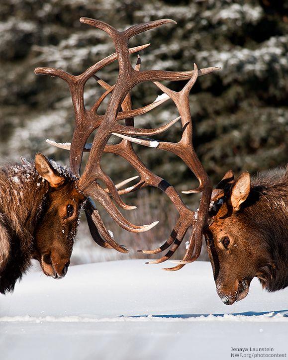 Bull elk fighting in snow by Jenaya Launstein