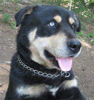Stevo The Husky Rottie Lab Mix Rottweiler Mix Puppies