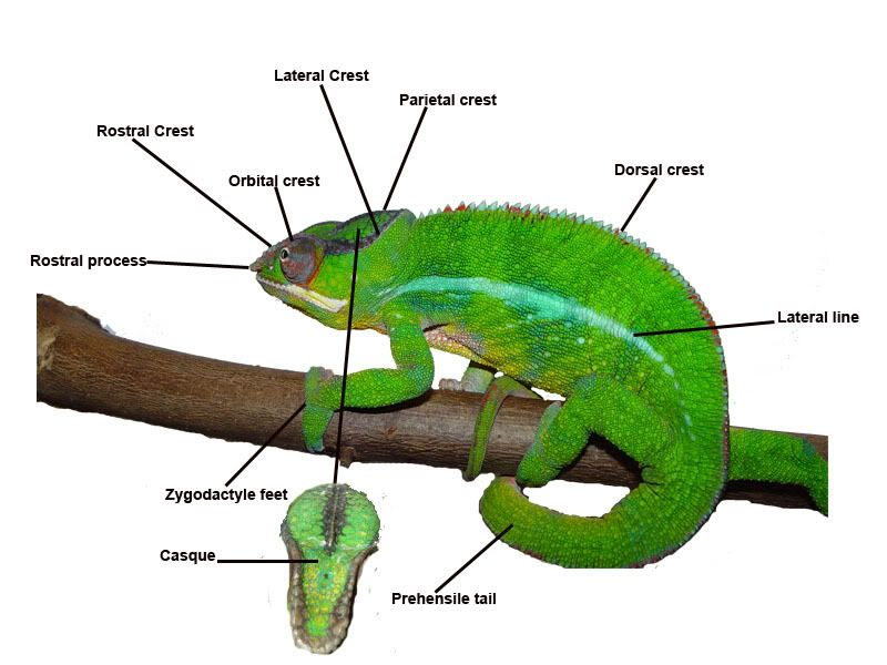 Panther Diagram Chameleon Care Cute Reptiles Chameleon