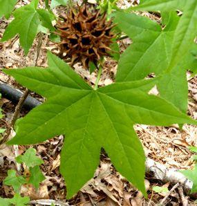 Sweetgum Balls Sweetgum Leaf And Ball Tree Seeds Plants Seed
