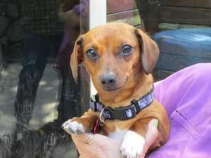 Adopt Penny On Adoptable Dachshund Dog Dachshund Rescue Dogs
