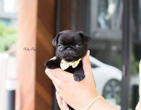 Queeny Teacup Black Pug Female Is Here Rollyteacuppuppies Queeny
