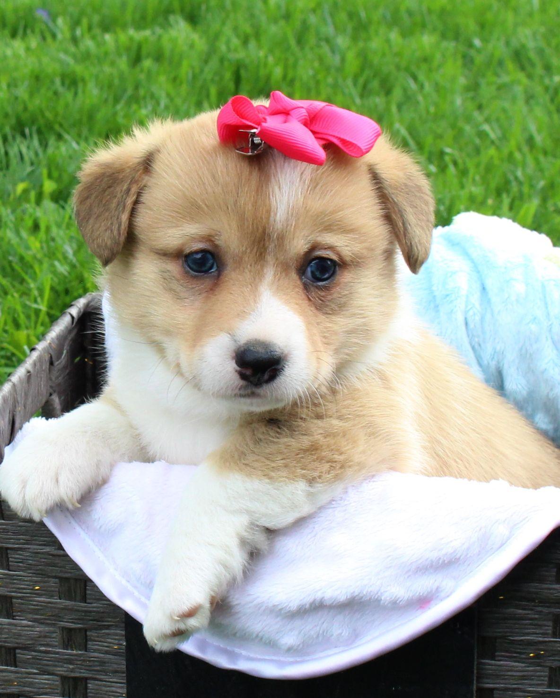 Madi AKC Female puppy (DM Free) Harlan, Indiana.