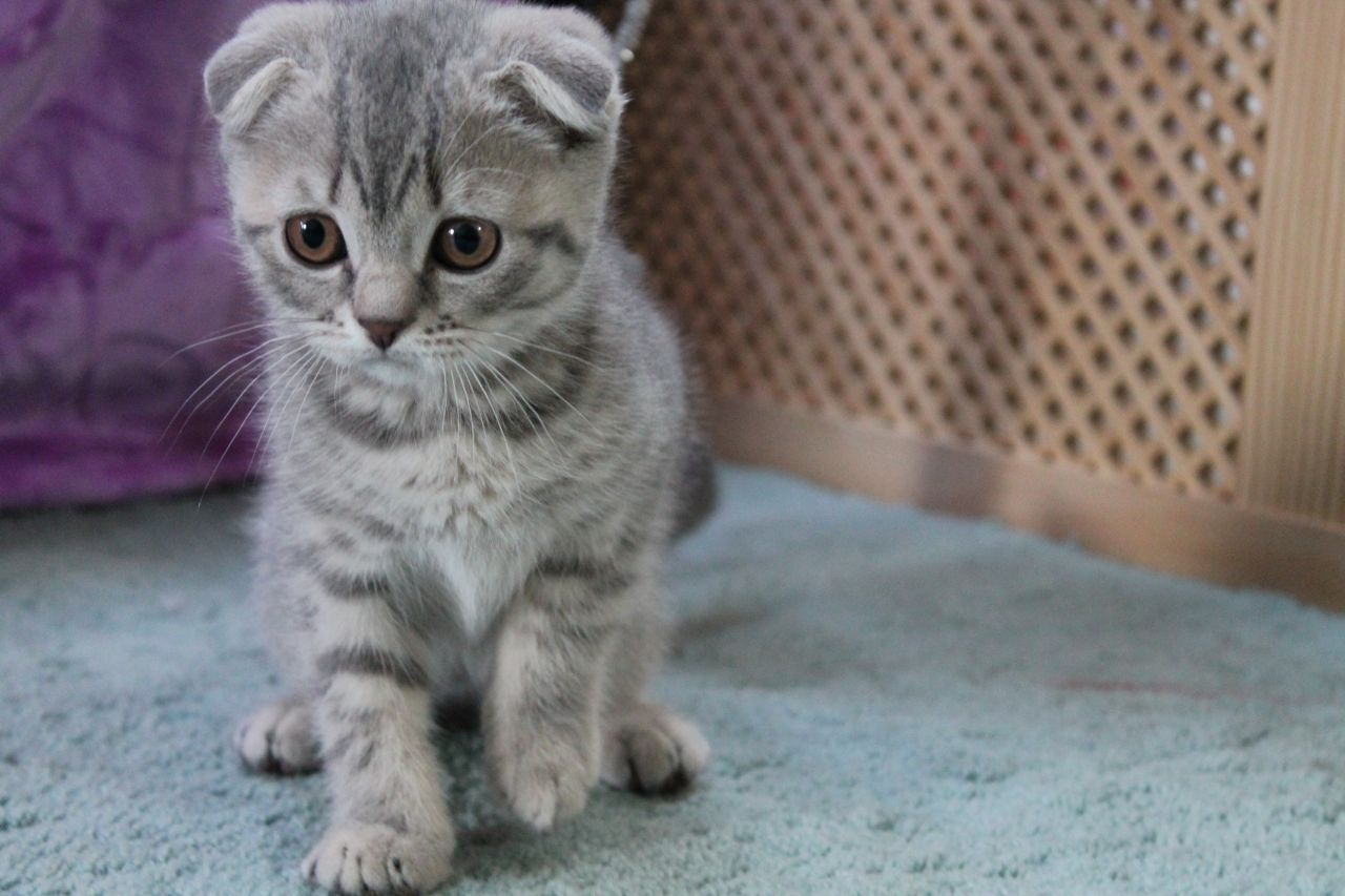 Scottish Fold Cat Kittens Breed The Scottish Fold Cat Is A Breed Of Domestic Cat With A Natural Dominan Cute Cat Breeds Scottish Fold Cat Kittens Cat Breeds