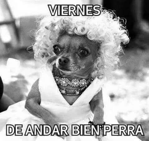 Pin By Glow Vqz On Frases Cute Chihuahua Chihuahua Chihuahua Love