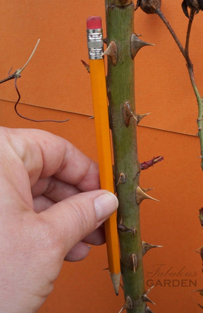 How to prune roses is part of Pruning roses, Home vegetable garden, Beautiful flowers garden, Growing roses, Rose garden, Rose care - Roses need to be pruned but how much should you cut off  And where do you cut  This post provides a simple rule for pruning roses