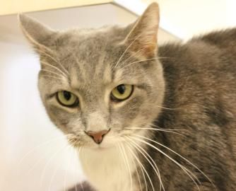 Petango.com – Meet Campbell, a 6 years Domestic Shorthair / Mix available for adoption in Hagerstown, MD