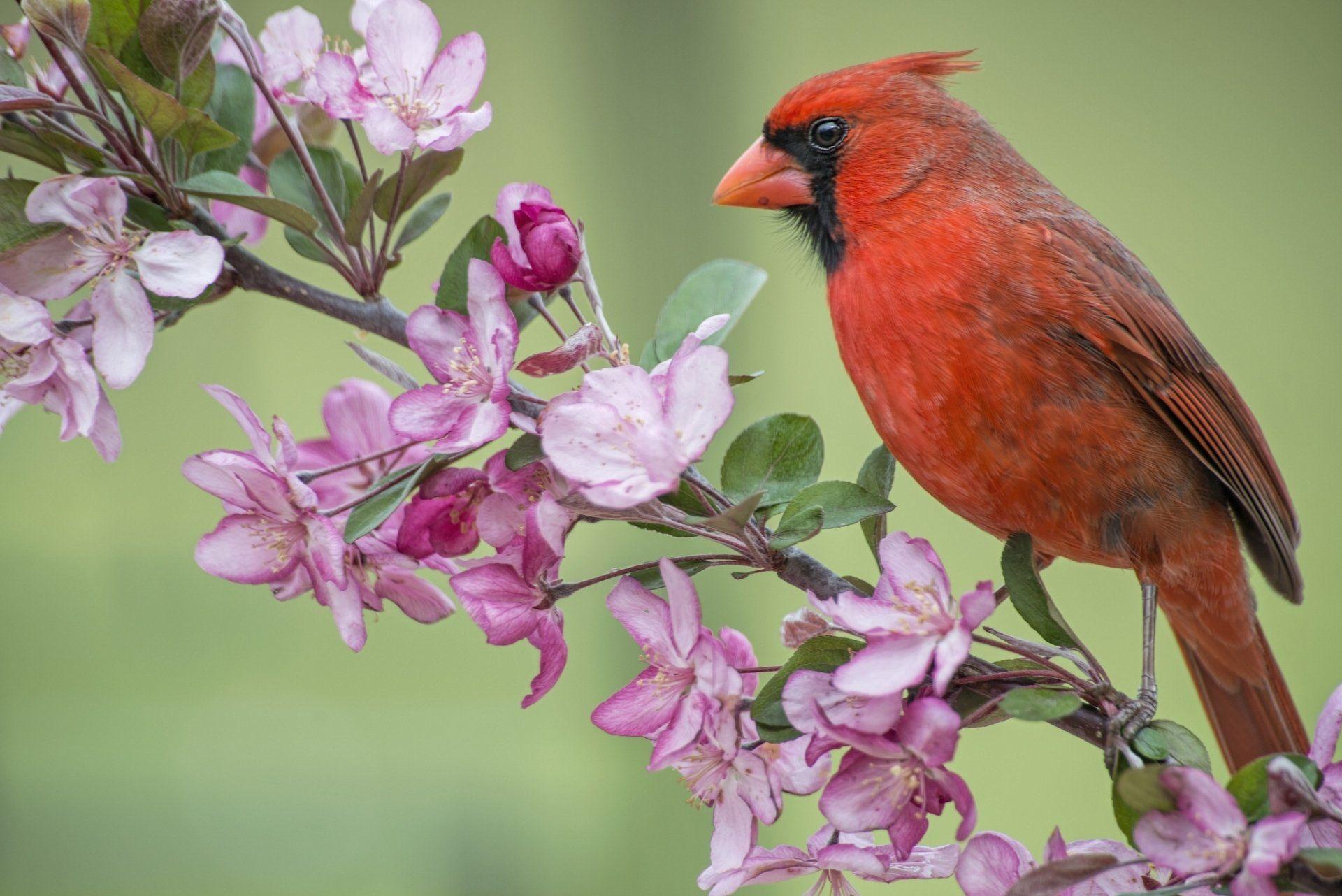 2048x1367 Cardinal on Flower Branch Wallpaper Background