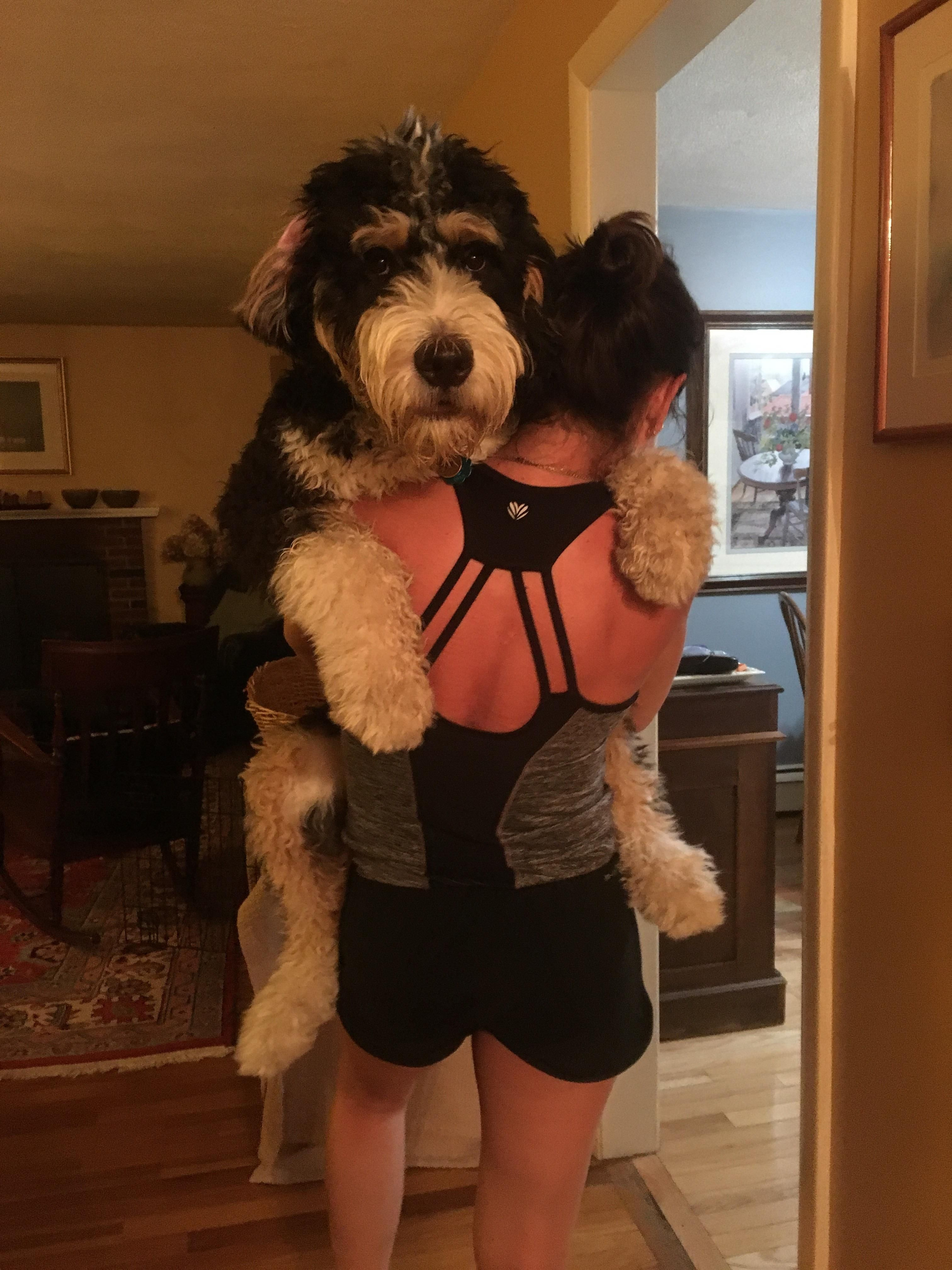 Frank Is A 7 Month Old Bernedoodle He Won T Be As Big As A Bernese Mountain Dog Because Of The Poodle Mix My Niece J Bernedoodle Dog Crossbreeds Poodle Mix
