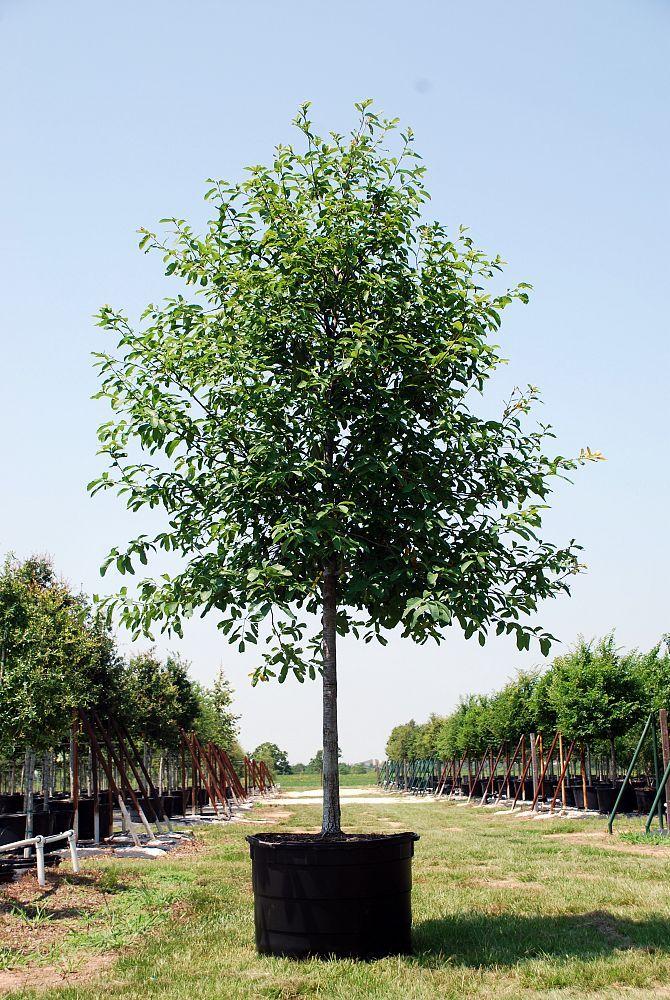 Monterrey Oak Front Yard Plants Texas Landscaping Lawn