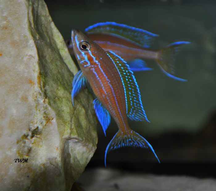 Paracyprichromis nigripinnis blue neon aquarium for Neon aquarium