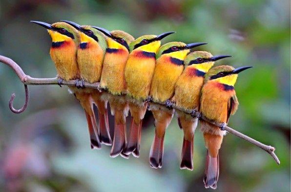Abejarucos (Merops pusillus), del fotógrafo Kit Day (Reino Unido).