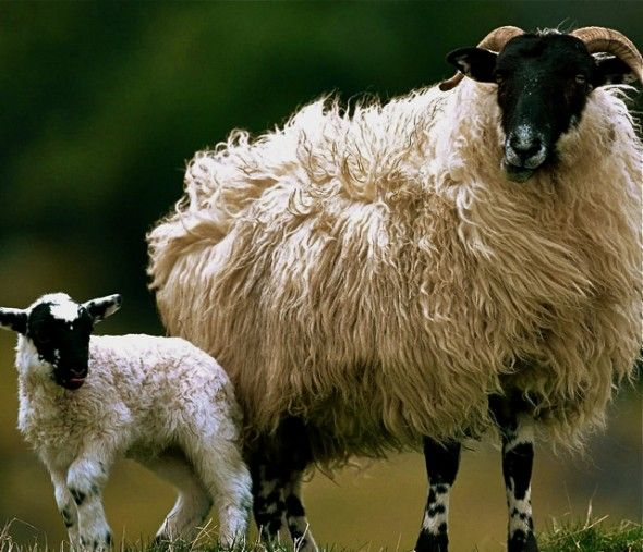 The Ultimate Guide to Spanish Sheep Cheese   Sheep breeds, Sheep and lamb,  Goats