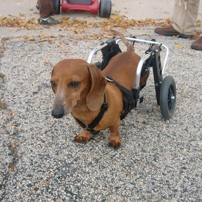 Ellie Mini Dachshund Rear Support Dog Wheelchair Dog