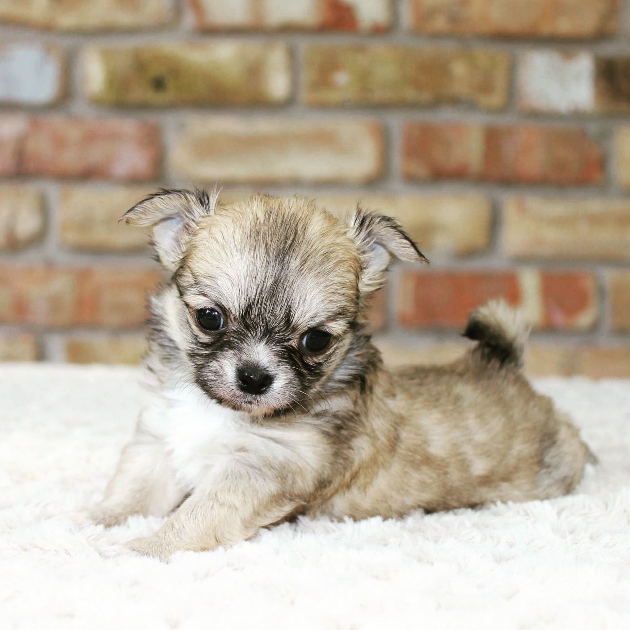 Merle Chihuahua Puppies For Sale In Pa References