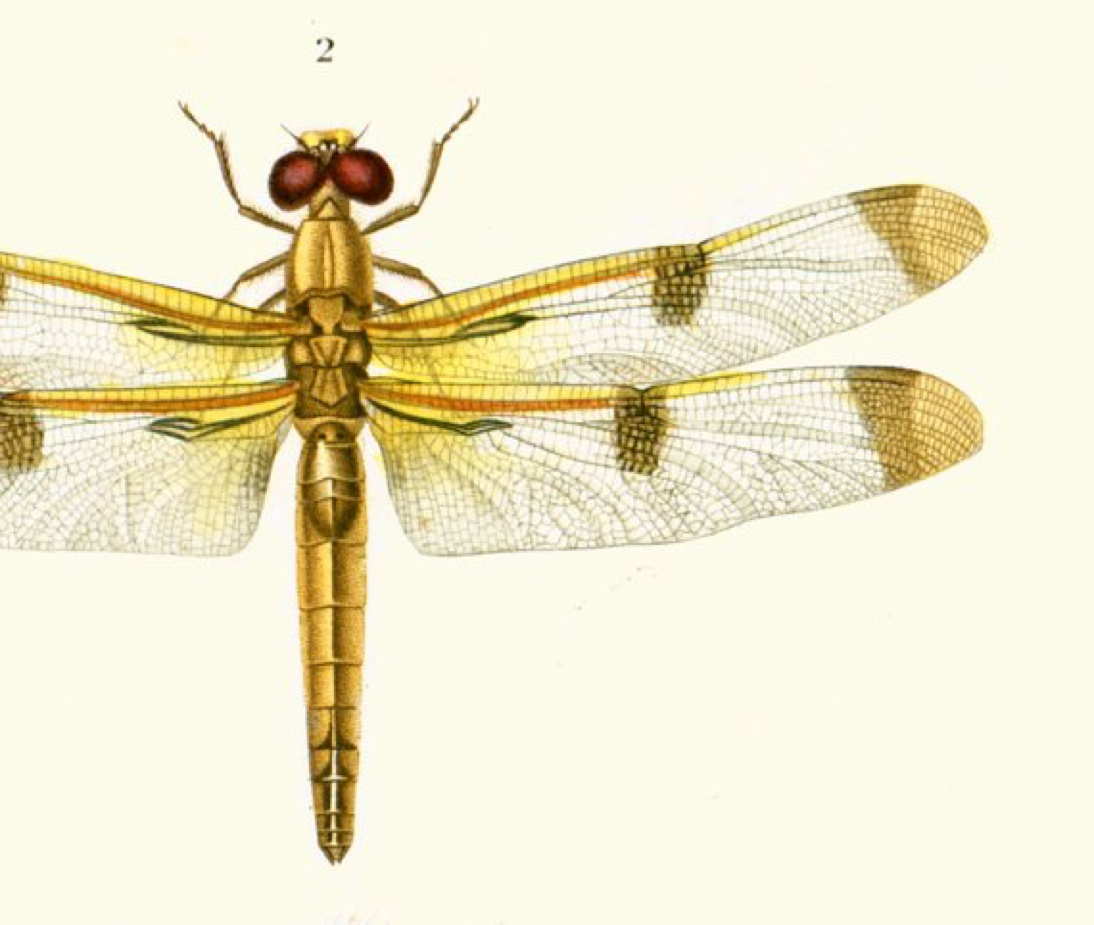1861 Dragonfly, Antique Engraving, Hand colored lithograph ...