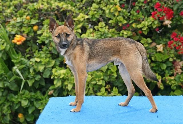 German Shepherd Jack Russel Terrier Basically Koli Poki With Out