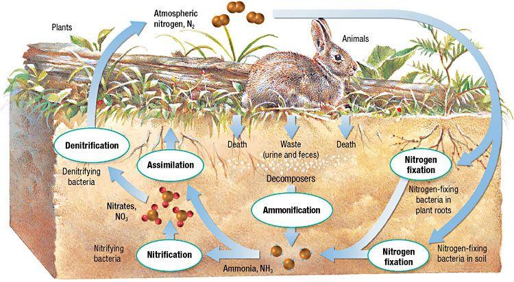 Simple Nitrogen Cycle Nitrogencycle Microbiology Pinterest