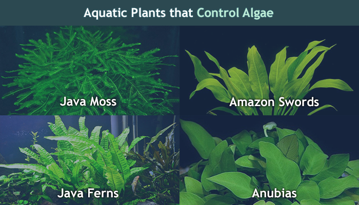 Best aquarium fertilizer plant food that s safe for fish for Best aquatic plants for small ponds