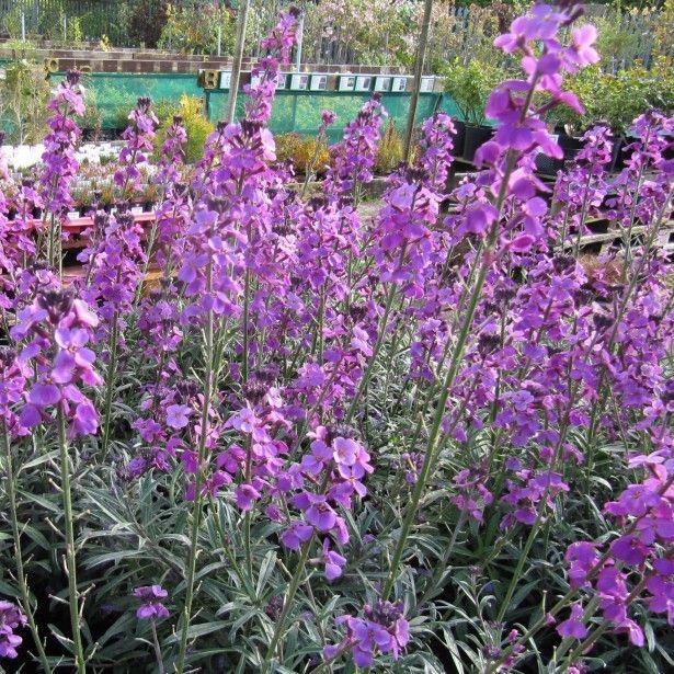 foto de Giroflée arbustive Erysimum bowles mauve Fleurs mauves