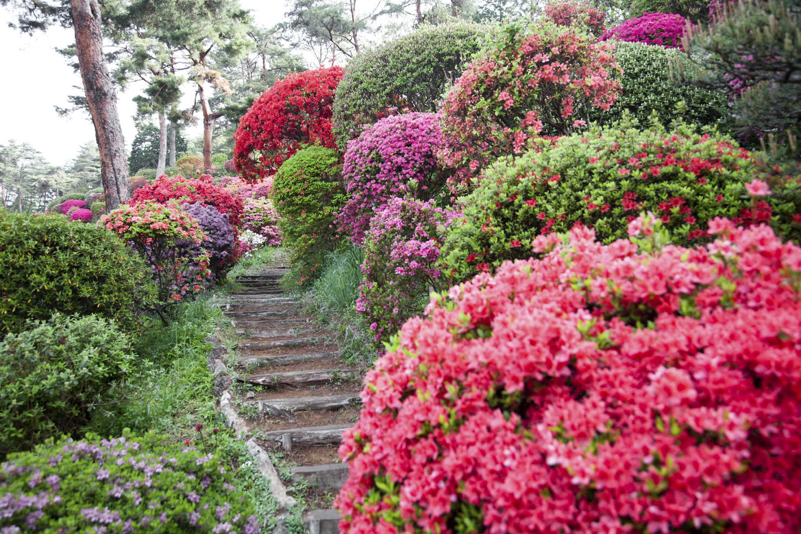 The All Inclusive Guide To Blooming Azaleas (With images