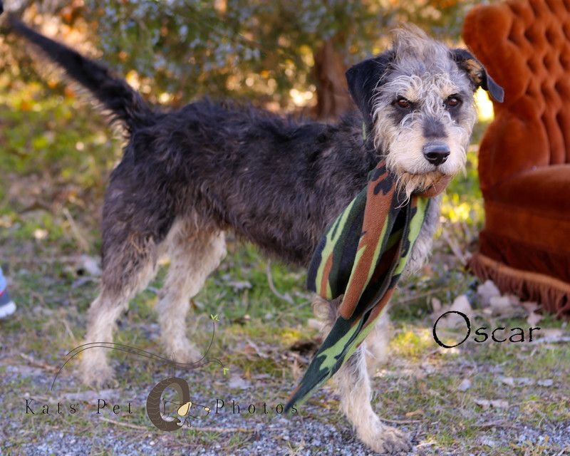 Adopt Oscar On With Images Schnauzer Mix Big Dogs Rescue Dogs