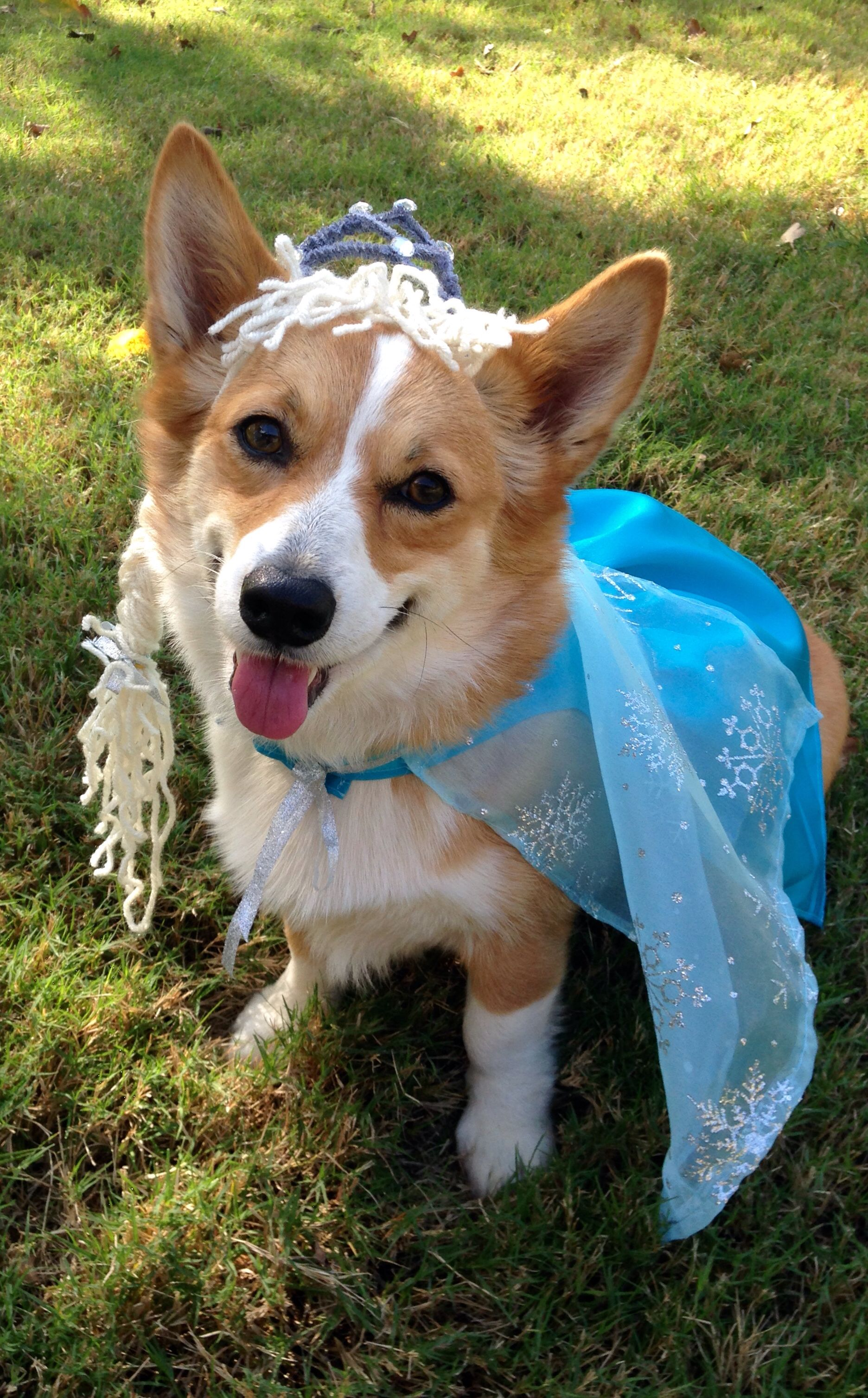 Our Frozen Corgi! #Halloween #Frozen #Corgi #dog #Elsa #Costume ...