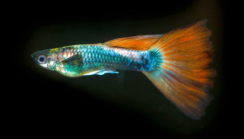 Female Guppies Fall For Rare Colorful Males Futurity Guppy Fish Guppy Beautiful Fish