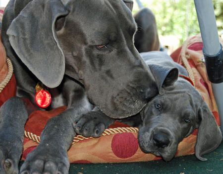 Momma Lovin Great Dane Cute Animal Pictures Dog Love