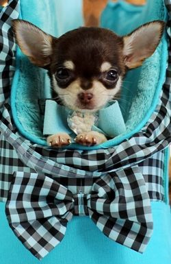 Chihuahuas For Sale Teacup Chihuahua Dogs Chihuahua Puppies