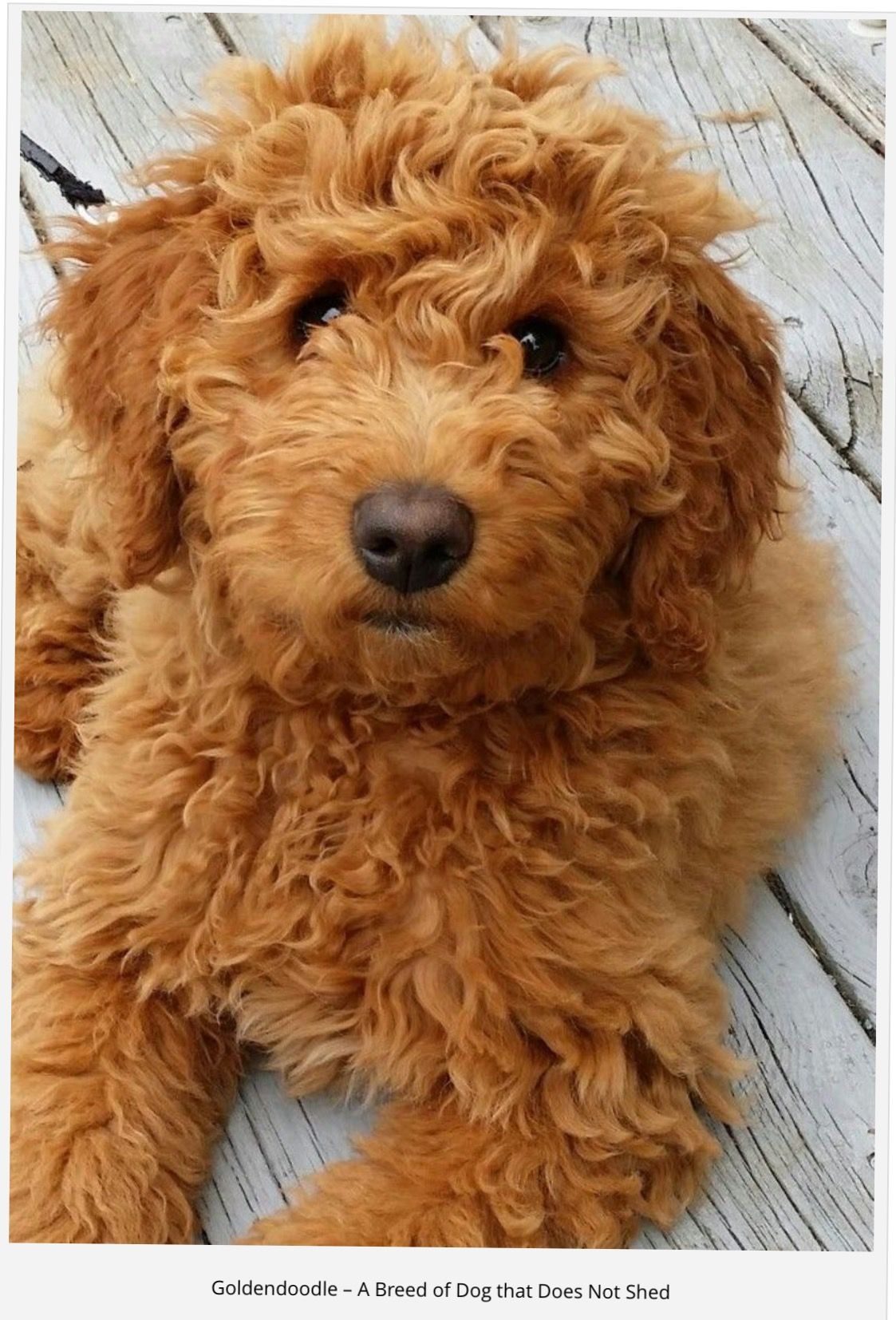 Pin By Janet Mckelvey On Golden Doodles Doodle Dog Breeds Cute Dogs Golden Doodle Dog