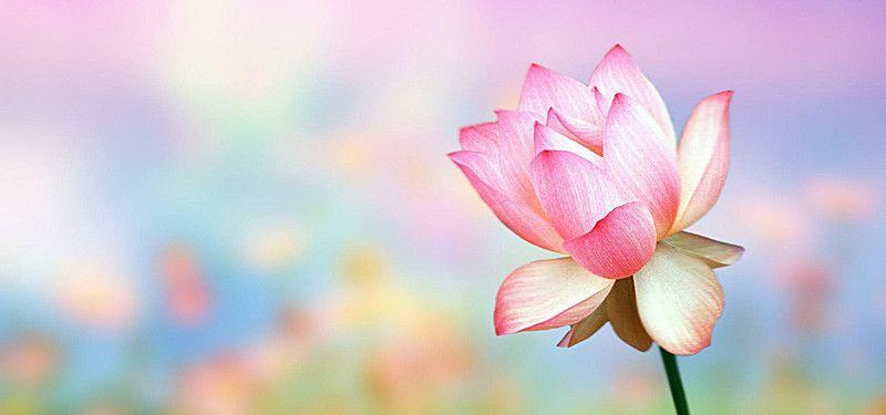 Pink Flower Petal Blossom Background Flower Wallpaper Pink Flowers Flower Petals Beautiful lotus wallpaper hd