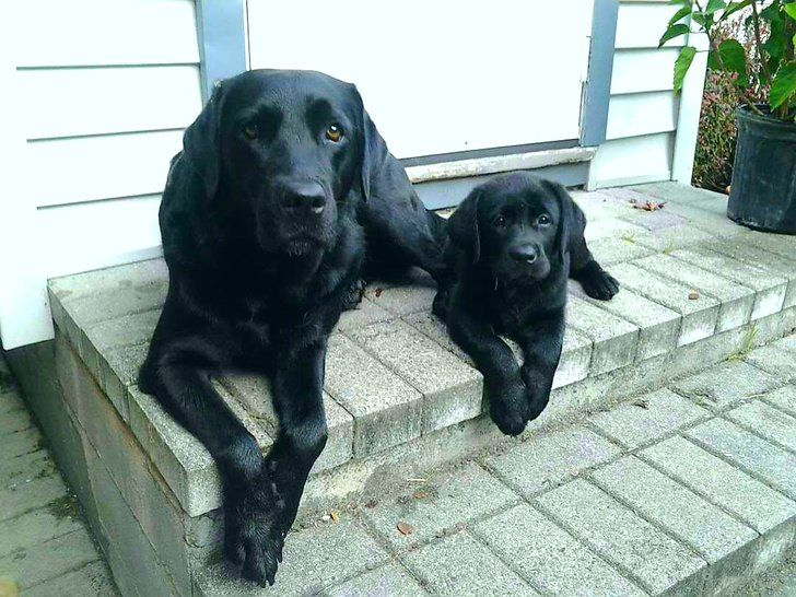 GF's Aunt has the cutest black labs.