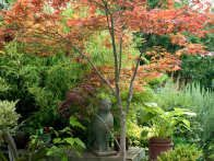 Acer palmatum is a deciduous, bushy Japanese Maple with purple foliage and red stems that intensify color in the autumn to a flaming red. They can be successfully grown in containers as a focal point for patio garden.
