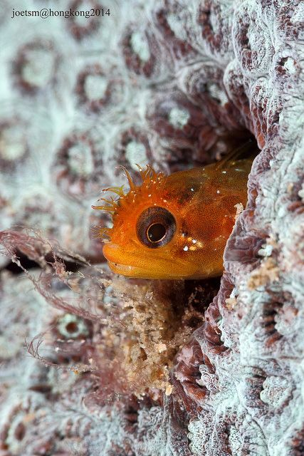 Blenny by joetsm