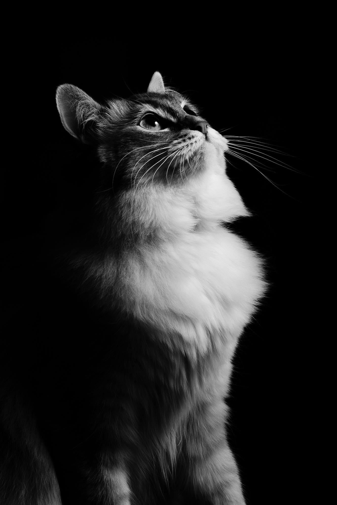 Voici une photo en noir & blanc de ma chatte Iuna, petite Ragdoll de 1 an et demie.