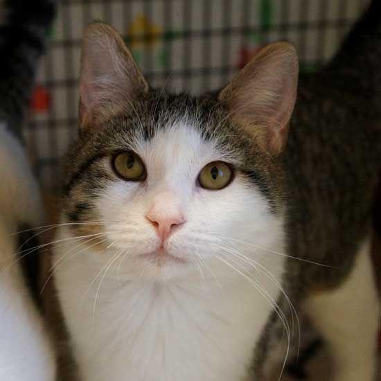 Adopt a Pet Cat adoption, Pet adoption, Animals