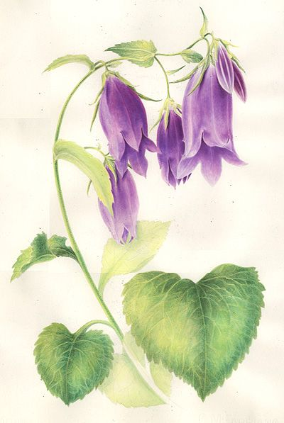 Volume two of botanical prints by Sabina Fascione Alcorn         Campanula