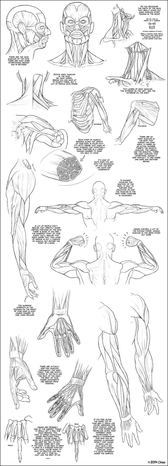 Artist Refs Upper Body Muscle Tutorial By Dersketchie Estudio Del