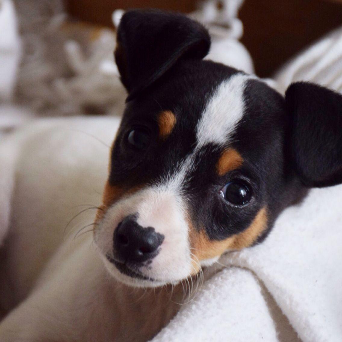 Bodeguero Pet Jack Terrier Toy Fox Terriers Animal Heros