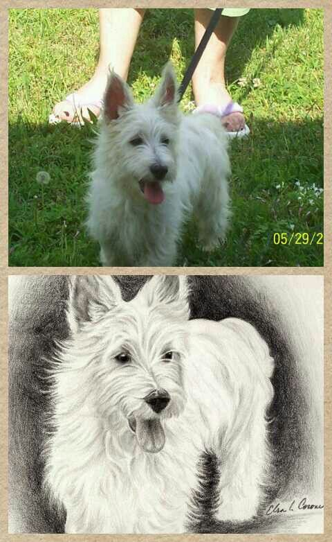 Chester West Highland White Terrier Westies White Terrier