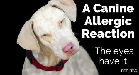 Here S How To Treat Dog Eye Allergies The Top Options Dog Allergies Dog Eyes Dog Itching