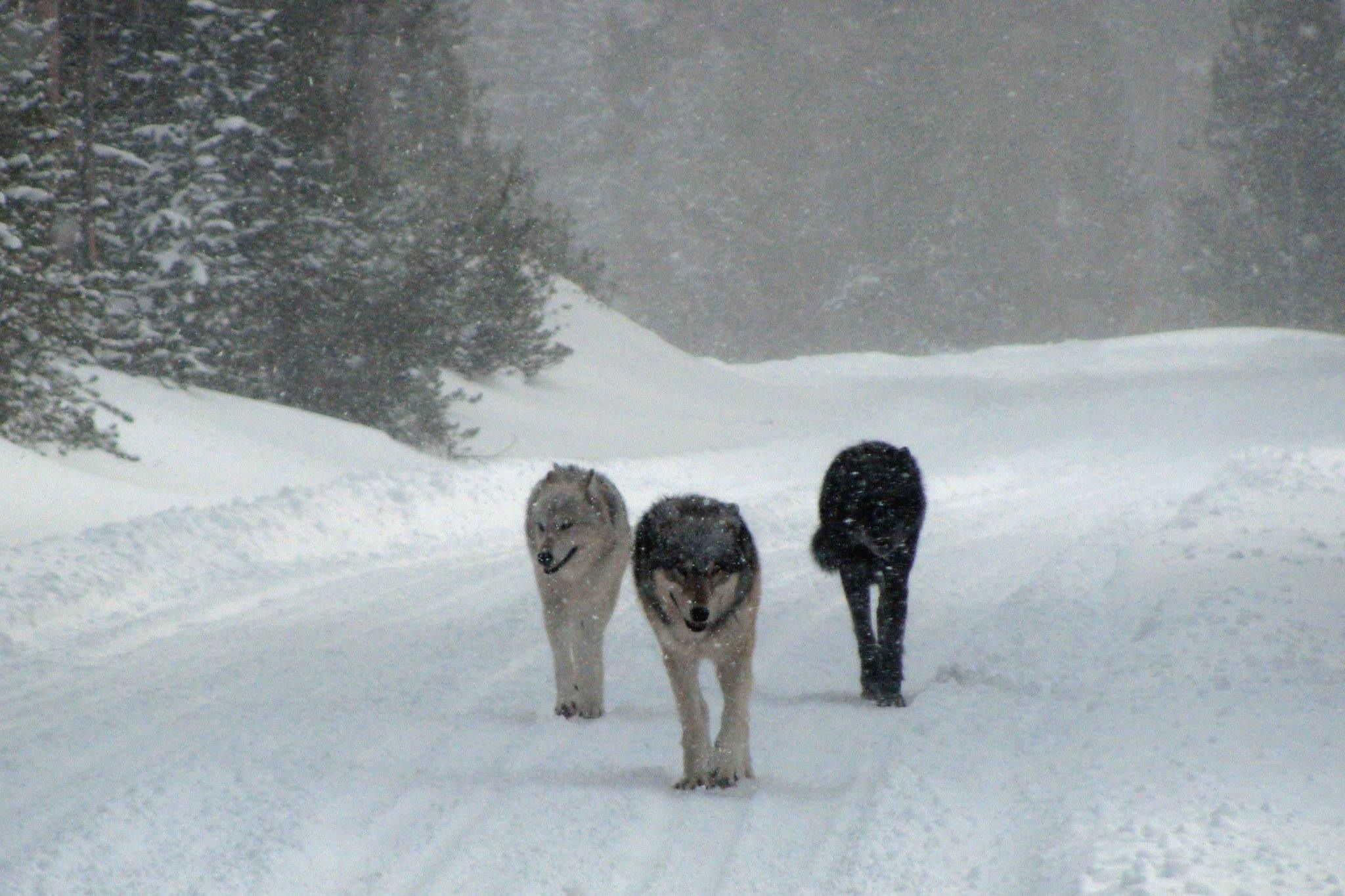 Three Wolves Yellowstone Park