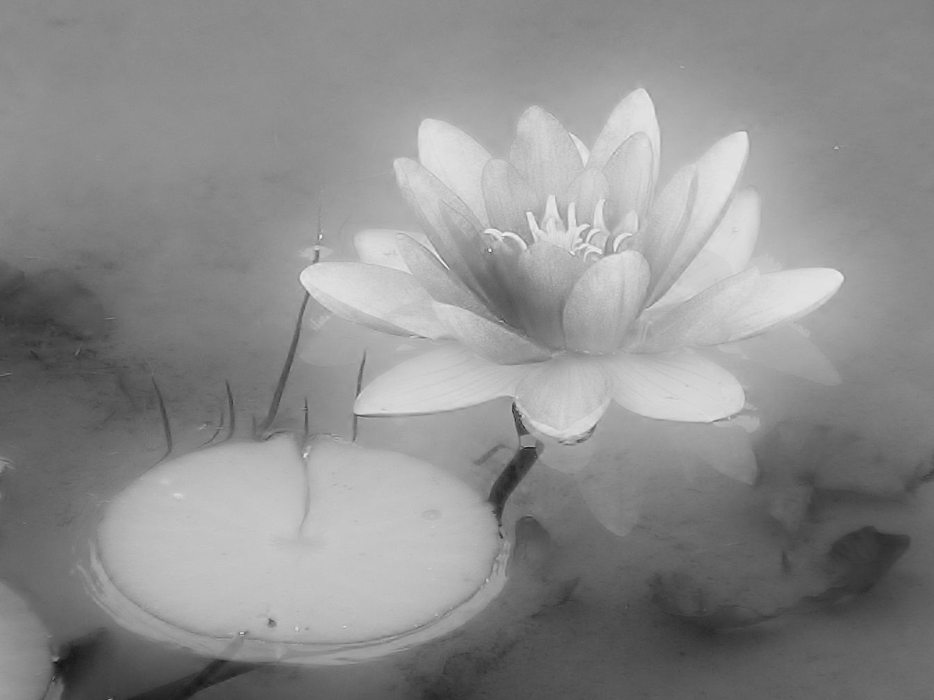 Lotus Flower And Pad In Black And White With Lots Of Grey Black